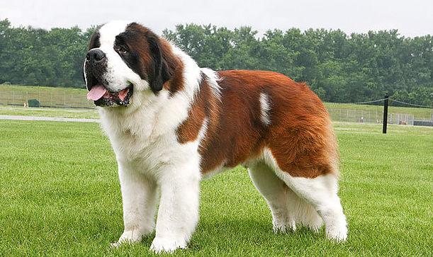 Tipos de pelos de cachorro e seus cuidados 8