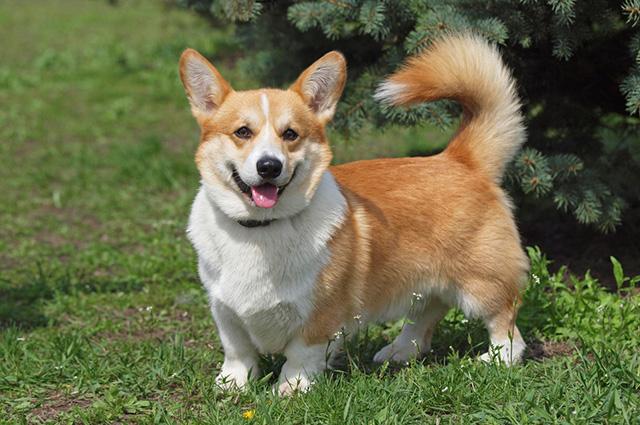 Tipos de pelos de cachorro e seus cuidados 19