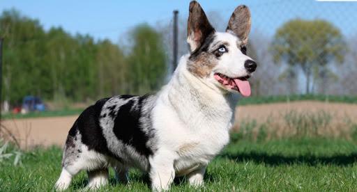 Tipos de pelos de cachorro e seus cuidados 20