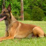 Dermatite em cachorros: sintomas, tratamento 19
