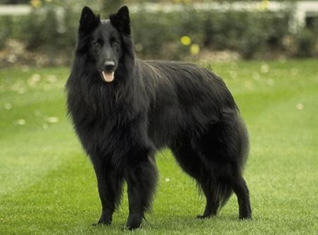 Tipos de pelos de cachorro e seus cuidados 14
