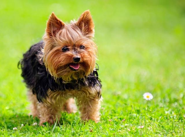 Yorkshire Terrier - Banho e Tosa e cuidados 6