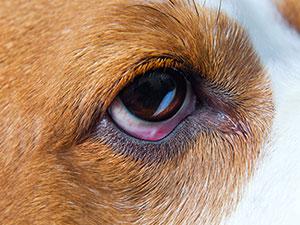 Lesões oculares em cães - como identificar e tratar 1