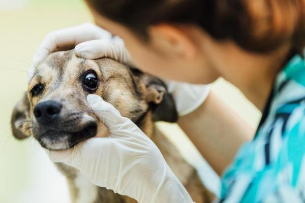 Lesões oculares em cães - como identificar e tratar 6