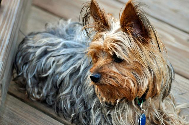 Yorkshire Terrier - Banho e Tosa e cuidados 12
