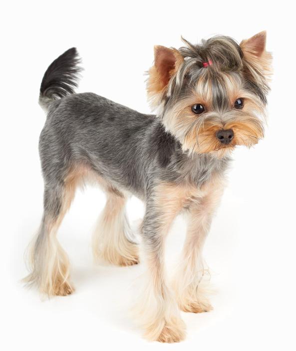 Yorkshire Terrier - Banho e Tosa e cuidados 4