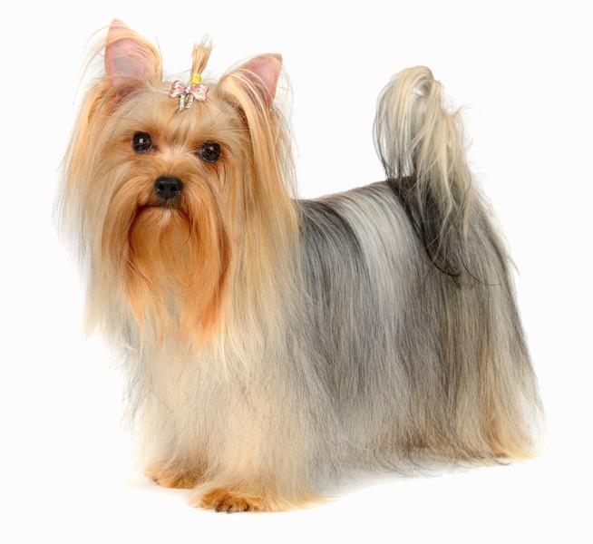 Yorkshire Terrier - Banho e Tosa e cuidados 2