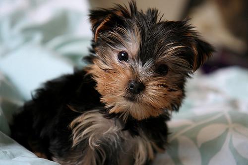 Yorkshire Terrier - Banho e Tosa e cuidados 13