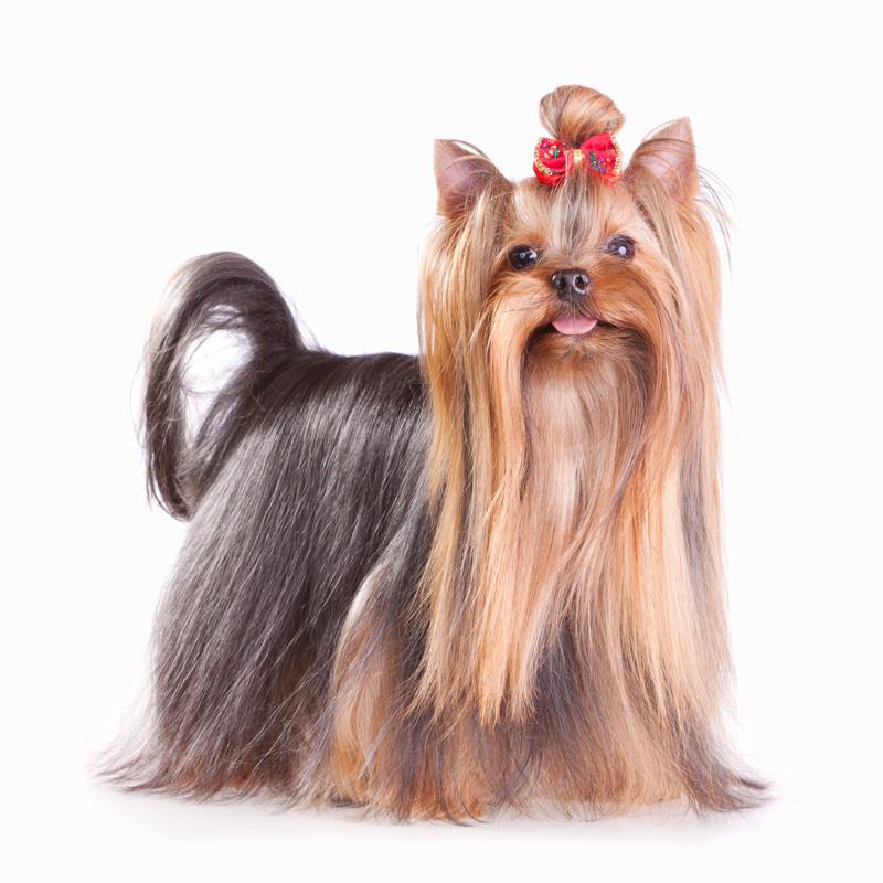 Yorkshire Terrier - Banho e Tosa e cuidados 1