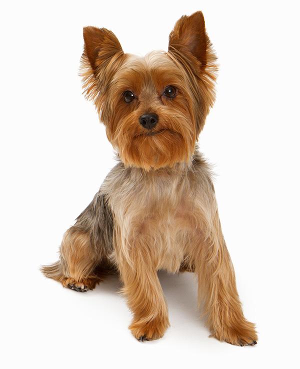 Yorkshire Terrier - Banho e Tosa e cuidados 3