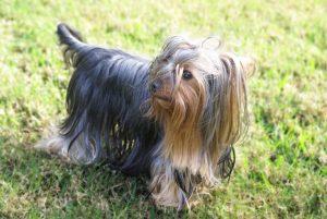 Yorkshire Terrier - Banho e Tosa e cuidados 9