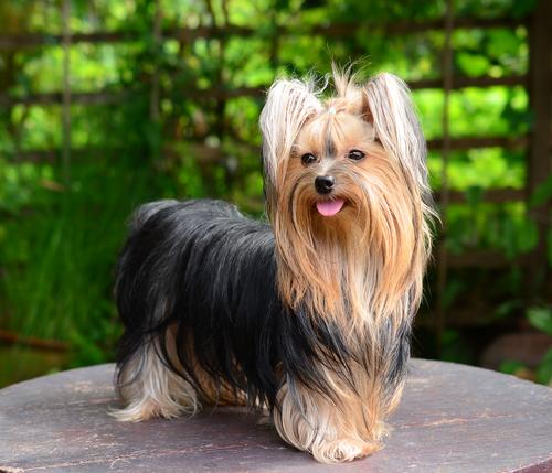 Yorkshire Terrier - Banho e Tosa e cuidados 7
