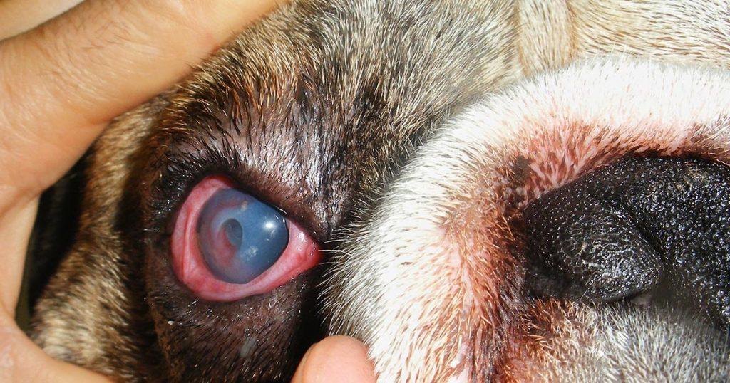 Um Guia para Problemas com os Olhos Pug: Causas, Tratamentos e Manutenção 3