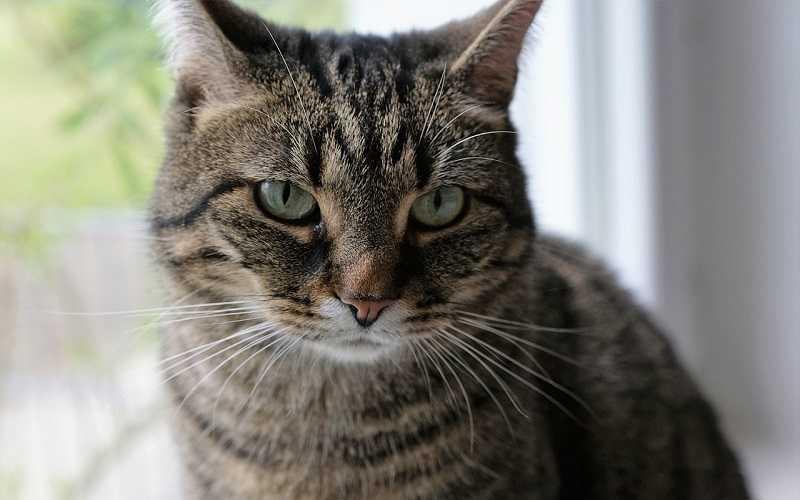 Anemia em gatos - sintomas, tratamento 3