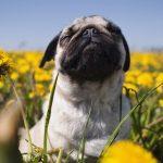 Reações alérgicas em cães: sintomas, gatilhos e tratamentos 11