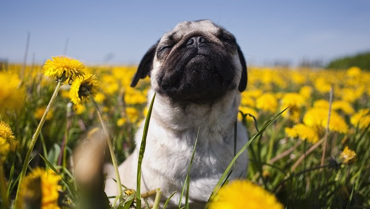 Reações alérgicas em cães: sintomas, gatilhos e tratamentos 1