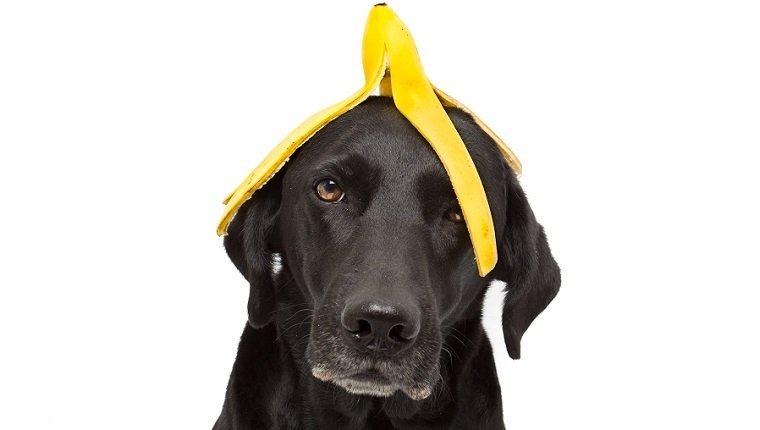 Cães podem comer bananas? Bananas são seguras para cães? 1