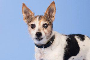 Cachorro com glaucoma