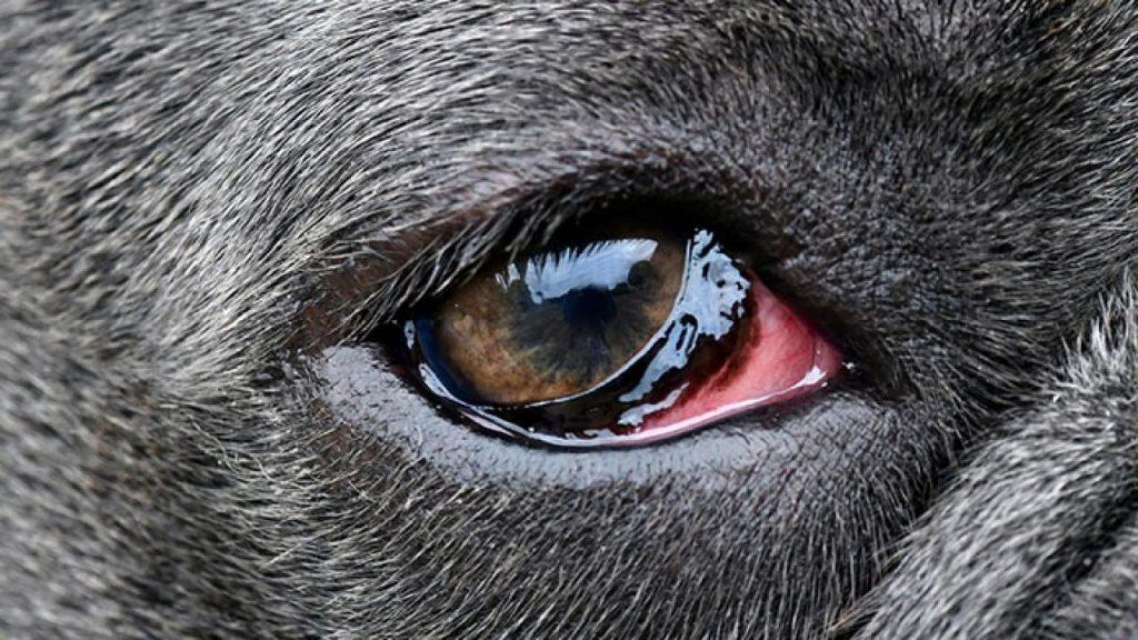 Causas do olho vermelho em cachorros