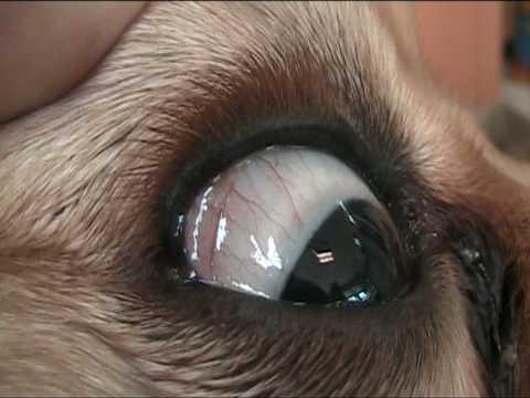 Um Guia para Problemas com os Olhos Pug: Causas, Tratamentos e Manutenção 4