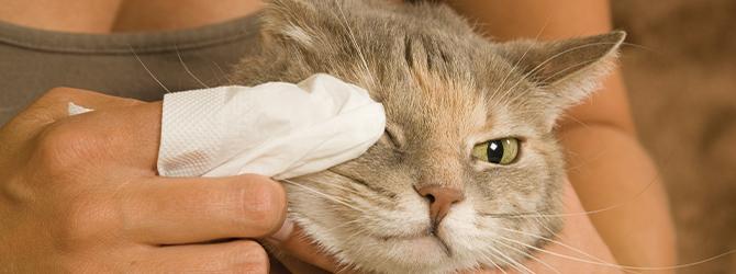 Conjuntivite em gatos - sintomas e tratamentos 3