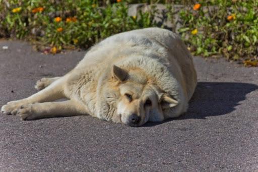Hipotireoidismo em cães: o que é, sintomas, tratamento e cura 2