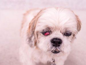 Sintomas olho vermelho em cachorros