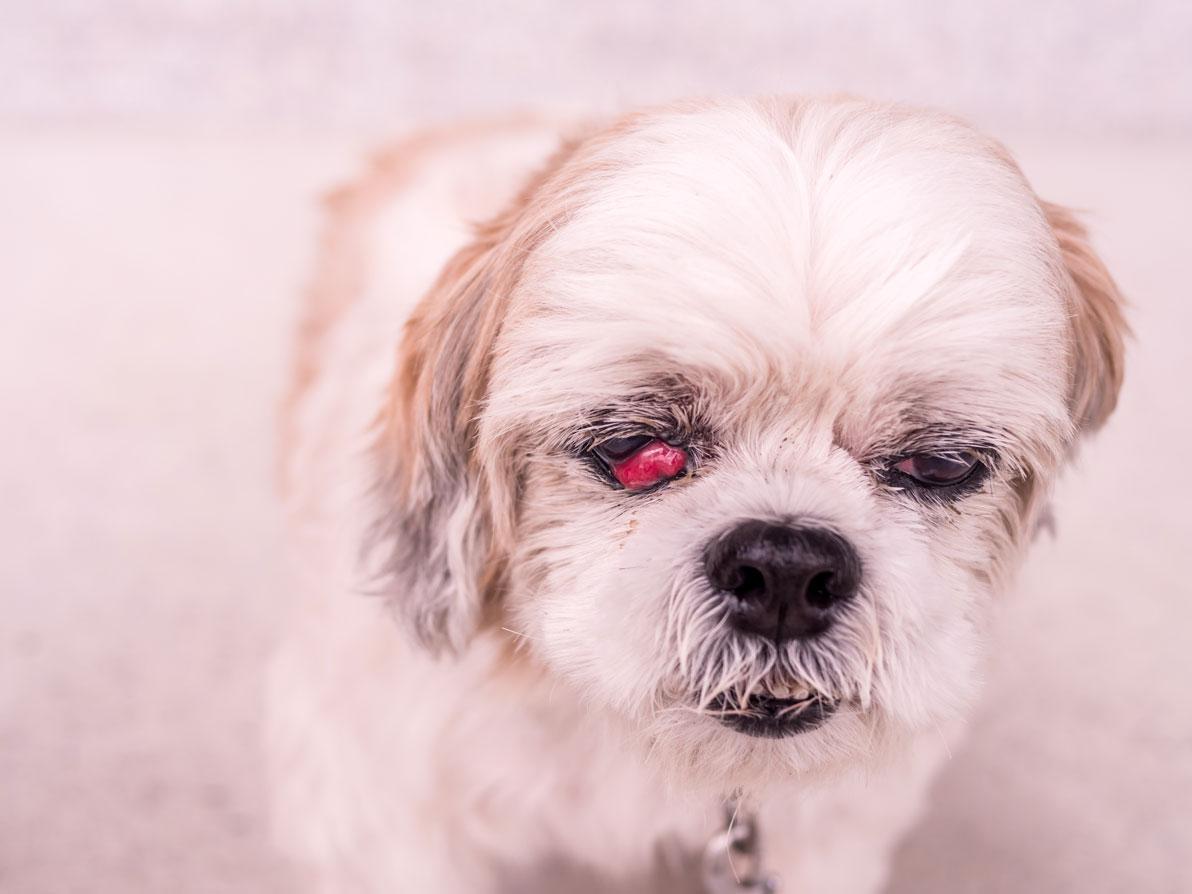 Olho vermelho em cachorro: o que é, sintomas, tratamento e cura 15