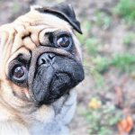 Um Guia para Problemas com os Olhos Pug: Causas, Tratamentos e Manutenção 2