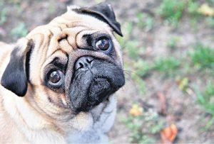 Um Guia para Problemas com os Olhos Pug: Causas, Tratamentos e Manutenção 14