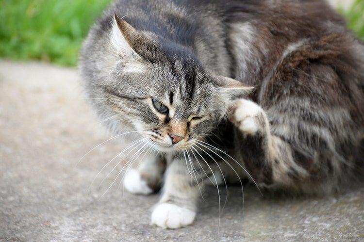 pulgas em gatos