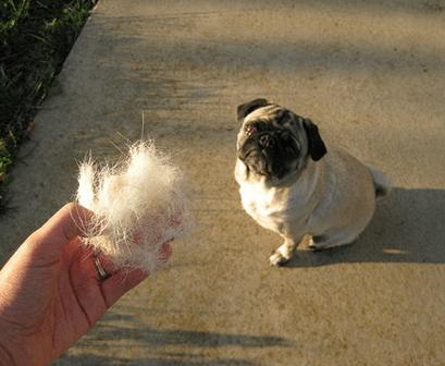 Cuidados com o Pug: banho, pelo, limpeza das orelhas e nariz 5