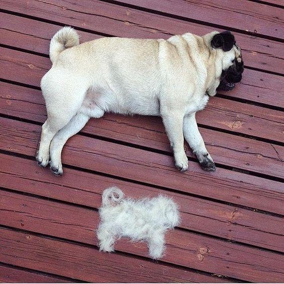 Cuidados com o Pug: banho, pelo, limpeza das orelhas e nariz 2