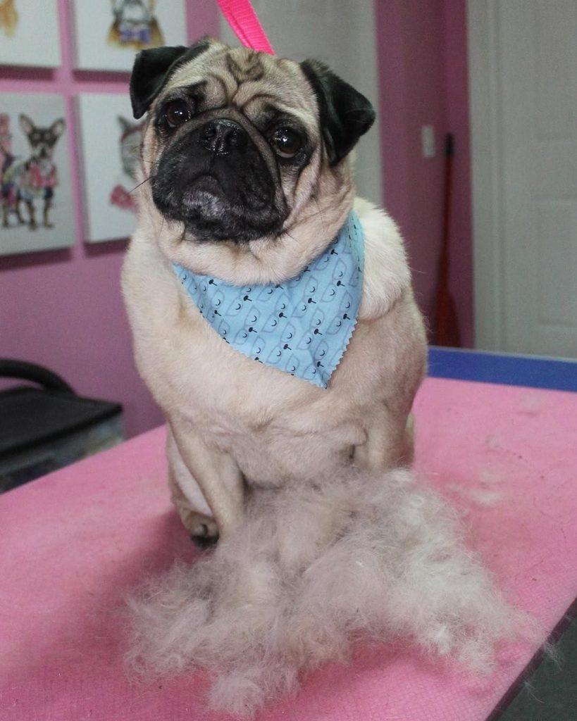Cuidados com o Pug: banho, pelo, limpeza das orelhas e nariz 3