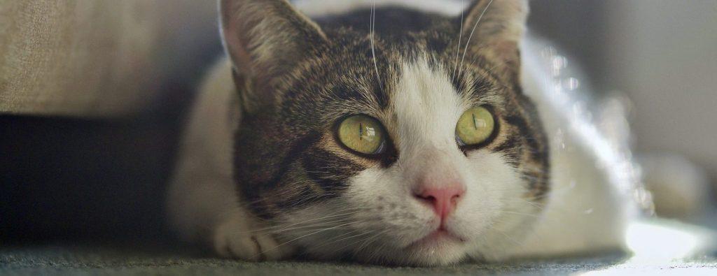 Sintomas da diabetes mellitus felina