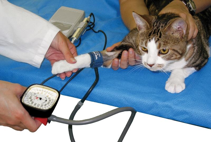 Pressão alta em gatos - sintomas e tratamento 3