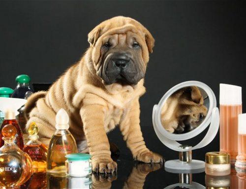Colônias e perfumes para cães: bom ou ruim?