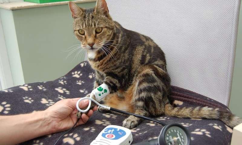 Pressão alta em gatos - sintomas e tratamento 2