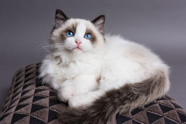 Doença do coração em gatos 5