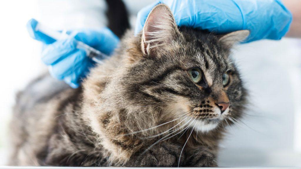 Aplicação de insulina em gato