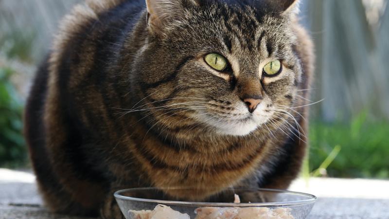 Diabetes felina sintomas