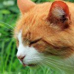 Vômitos frequentes em gatos - Causas, Tratamento e Prevenção 1