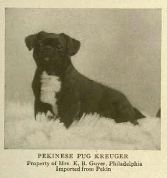 Curiosidades sobre a raça Pug 2