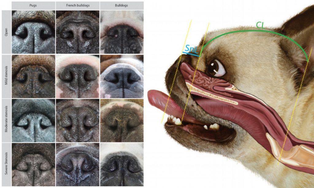 Curiosidades sobre a raça Pug 5