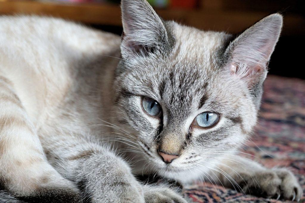 Doença hepática em gatos 9