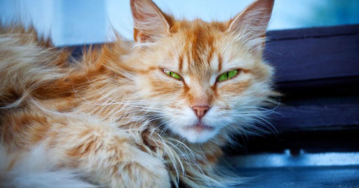 Saiba mais sobre doenças hormonais em felinos 8