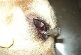 Cachorro com obstrução no duto lacrimal