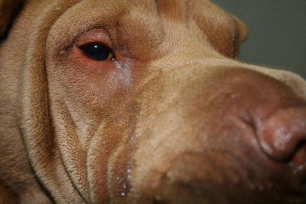 Cílio invertidos em cachorros