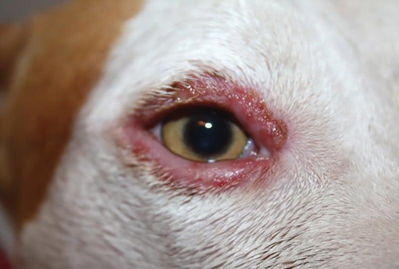 Cachorro com olhos inchados - o que pode ser e o que fazer 2