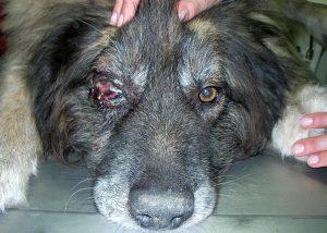 foto de cachorro com tumor na órbita do olho